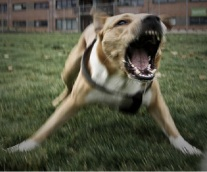 Criminal Sanctions for Owners of Dangerous Dogs